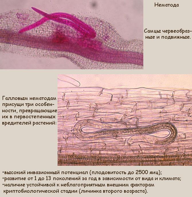 Самцы земляничной нематоды