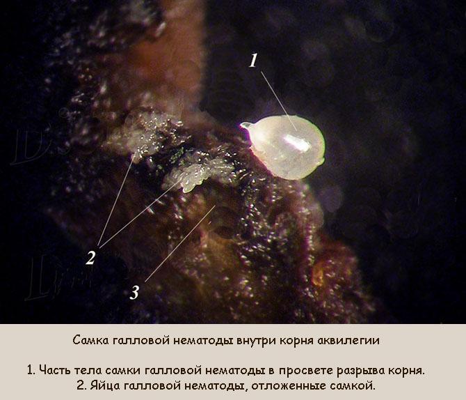 Самка галловой нематоды