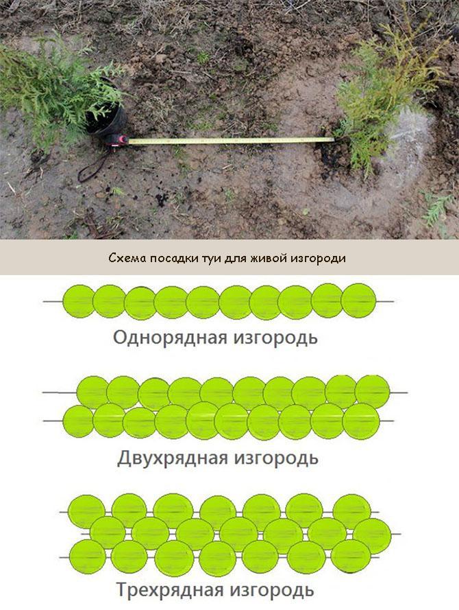 Схема посадки туи для живой изгороди