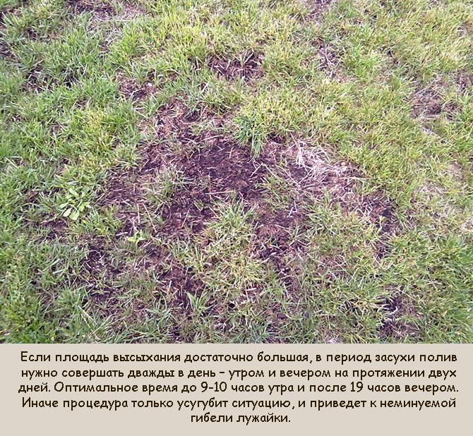 Что делать, если сохнет газонная трава