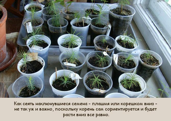 Выращивание сосны из семян дома
