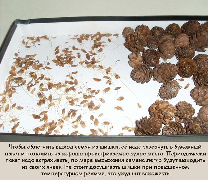 Как собрать семена для выращивания сосны