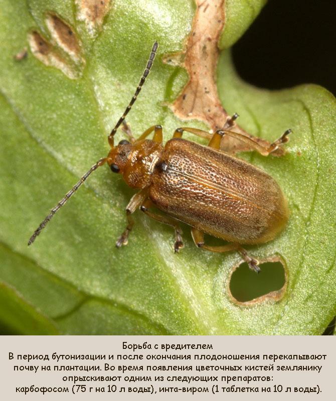 Меры борьбы с жуком-листоедом