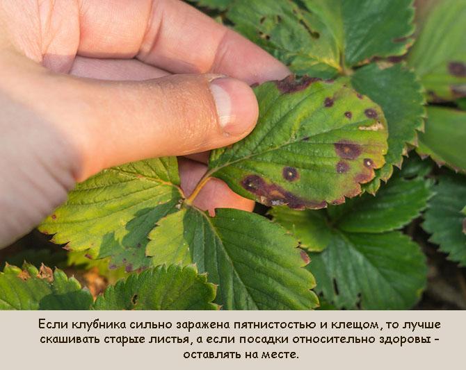 Какие листья клубники срезать после сбора урожая