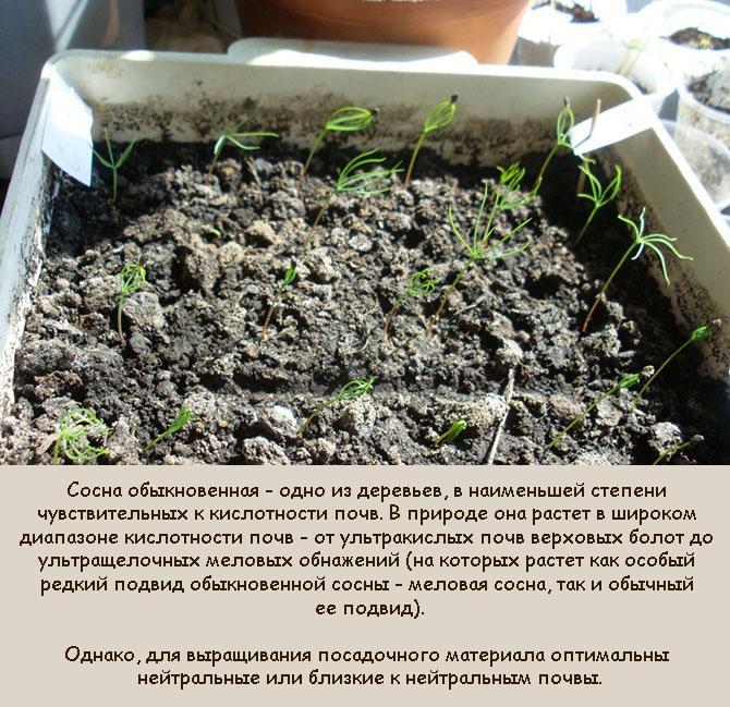 Почвосмесь для сеянцев сосны