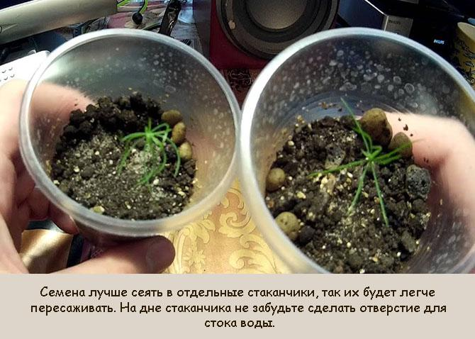Высаживание семян сосны в отдельные емкости