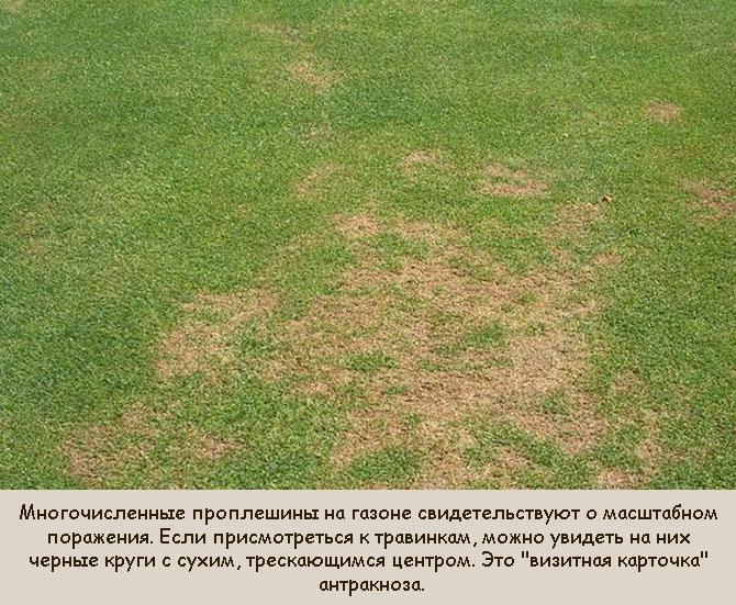 Антрактоз, как причина усыхания газона