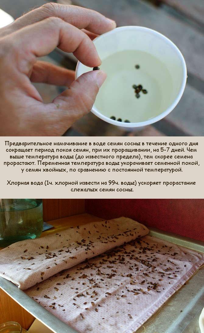 Подготовка семян сосны к высеиванию