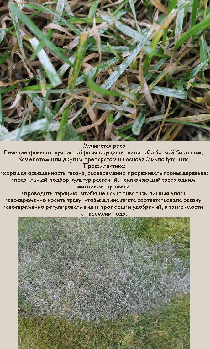 Газон засыхает от мучнистой росы