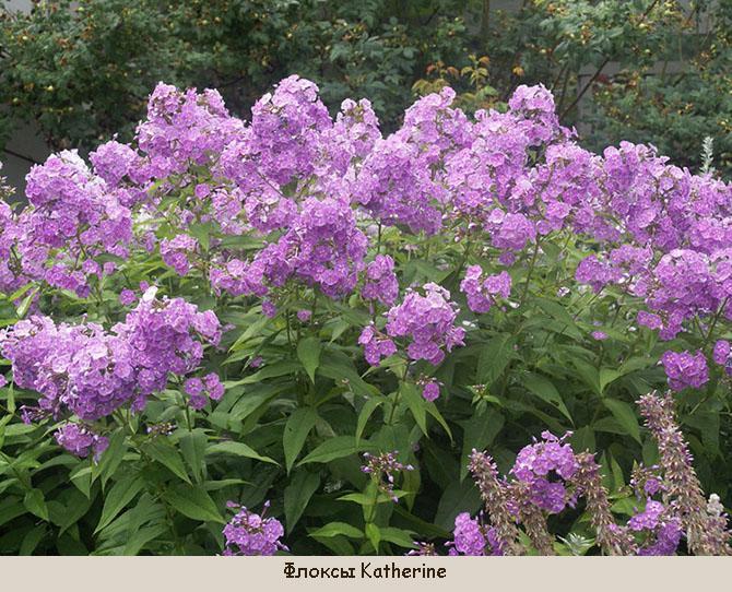 Цветы сентября Флоксы