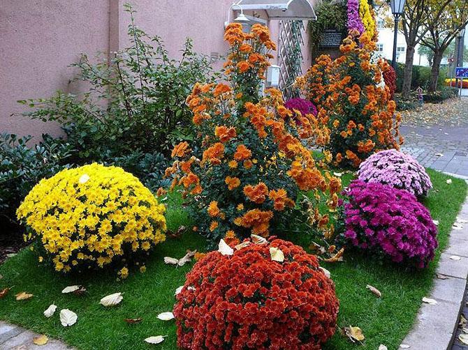 Хризантема в сентябре