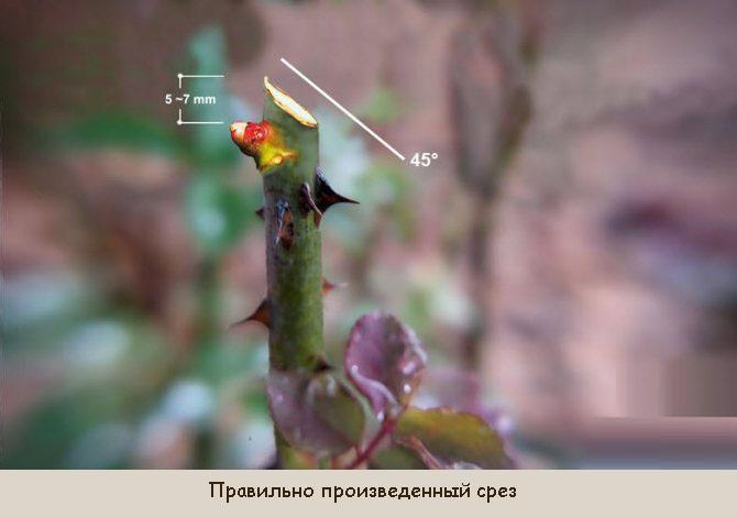 Как правильно обрезать розу