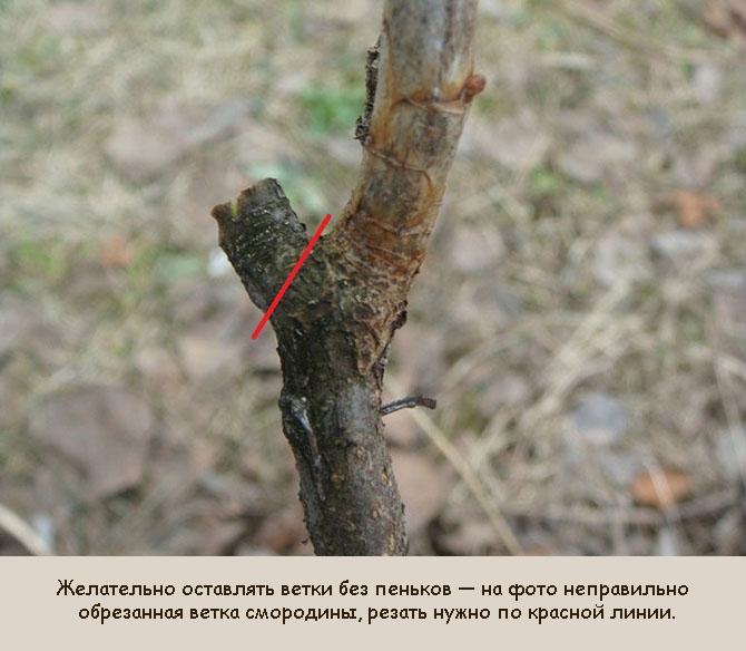 Как правильно обрезать ветви смородины