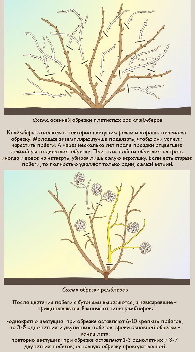 Обрезка плетистой розы осенью