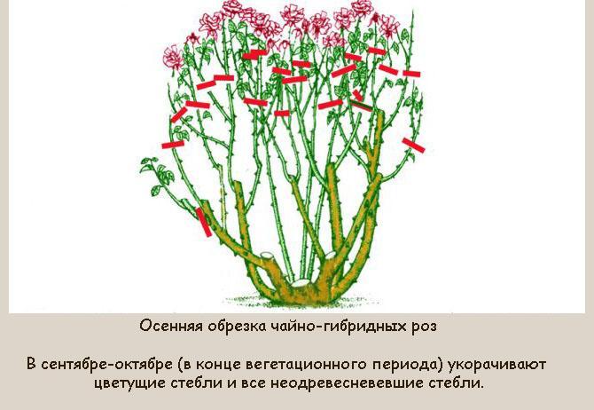 Как обрезать чайно-гибридные розы осенью