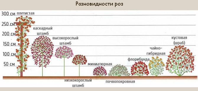 Видовое разнообразие роз