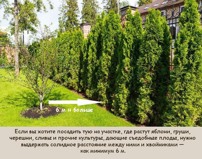 Какие растения нельзя сажать с туей