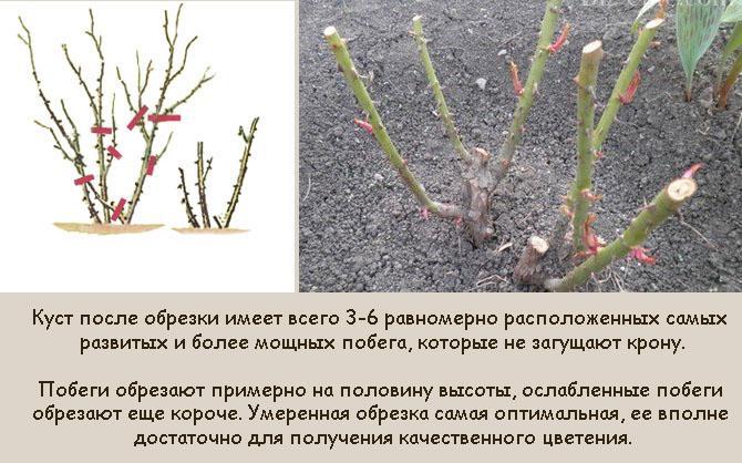 Умеренная обрезка роз осенью