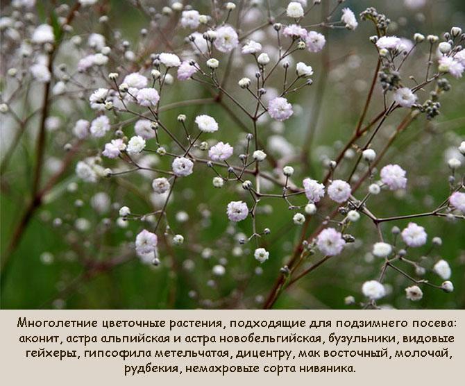 Многолетние цветы для подзимнего посева