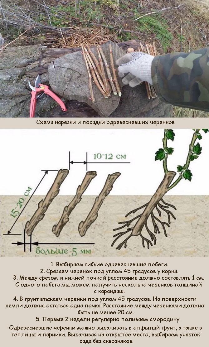 Посадка черенков смородины осенью