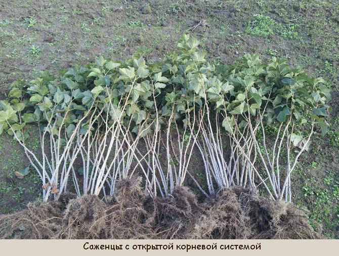 Саженцы смородины с открытой корневой системой