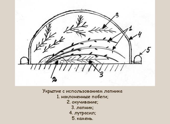 Укрытие гортензии лапником