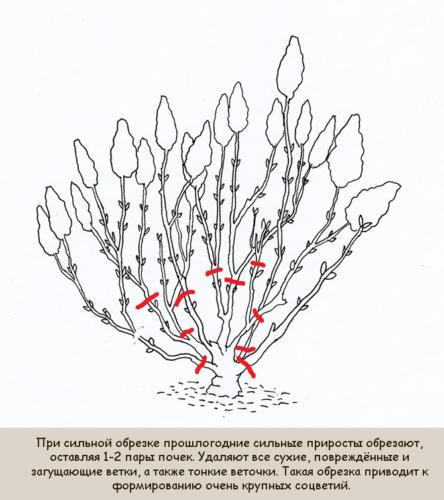 silnaja-osennjaja-obrezka-gortenzii-metelchatoj