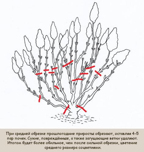 srednjaja-osennjaja-obrezka-gortenzii-metelchatoj